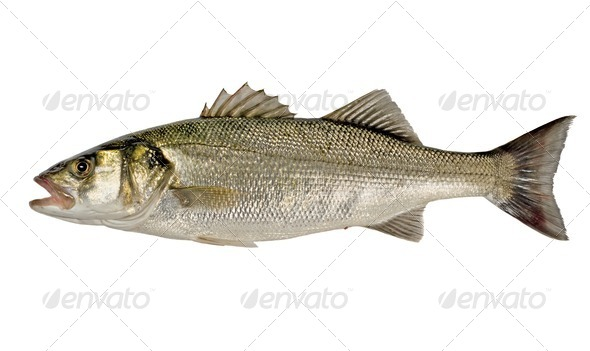 Sea Bass Fish - Stock Photo - Images
