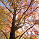 Autumn Tree - VideoHive Item for Sale
