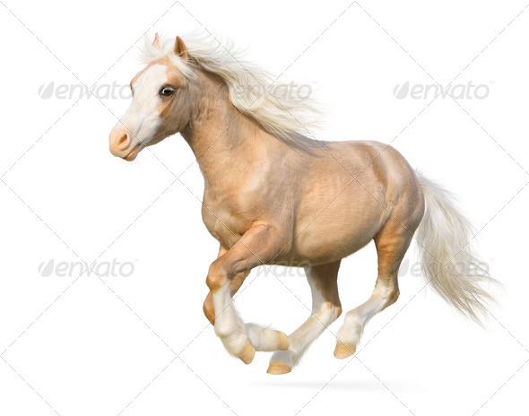 Welsh Pony - Stock Photo - Images