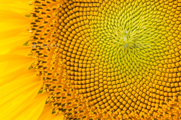 sunflower pattern - Stock Photo - Images