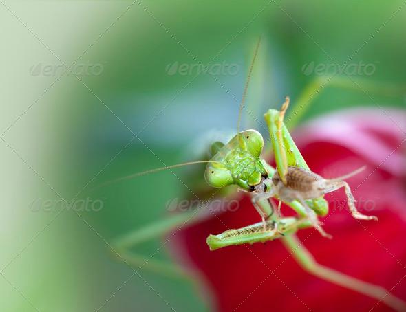 Praying Mantis - Stock Photo - Images