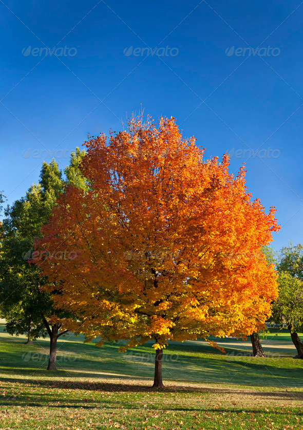 Autumn Tree - Stock Photo - Images
