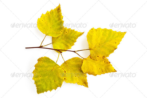 Birch twig - Stock Photo - Images