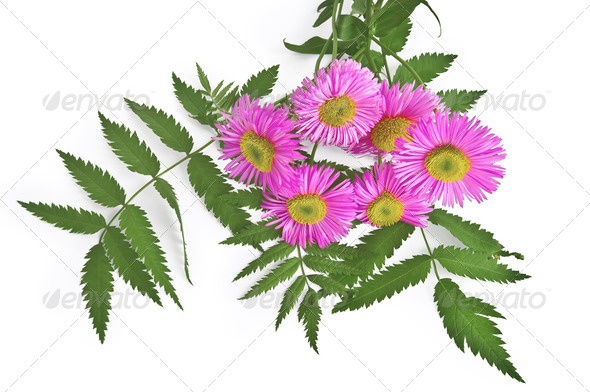 Bouquet with pink Astra - Stock Photo - Images