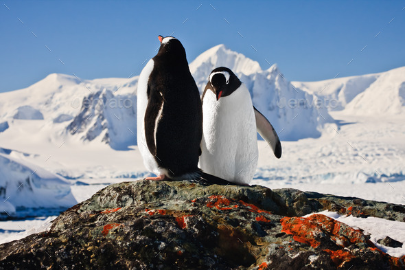 Two penguins - Stock Photo - Images