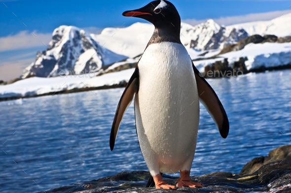 penguin in Antarctica - Stock Photo - Images