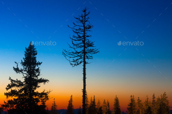 pine trees - Stock Photo - Images