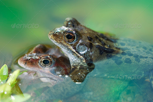 Frog sex - Stock Photo - Images