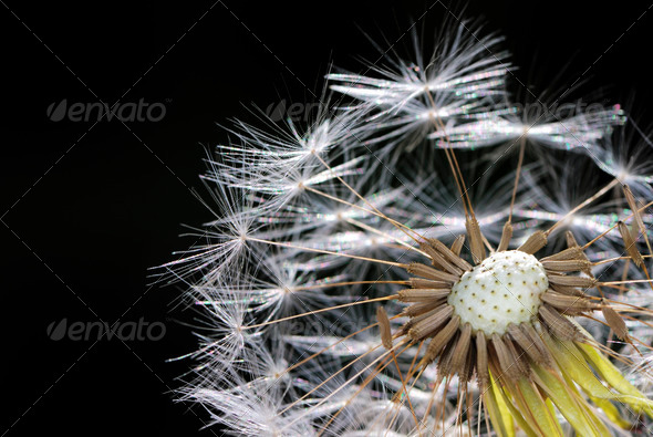 Dandelion - Stock Photo - Images