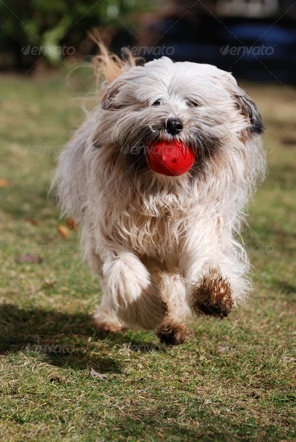 Running Tibetan terrier dog - Stock Photo - Images