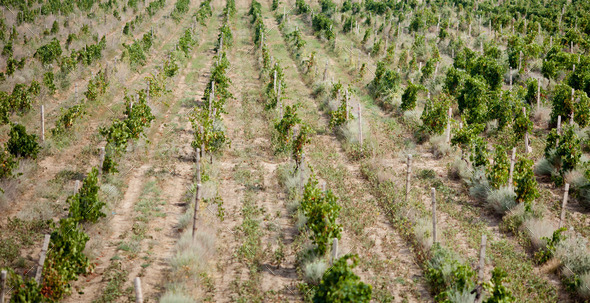 vineyards in Crimea - Stock Photo - Images