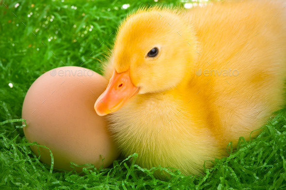 newborn duckling - Stock Photo - Images