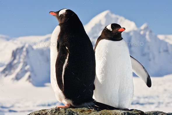Two penguins dreaming - Stock Photo - Images