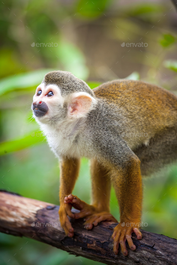 Squirrel monkey - Stock Photo - Images