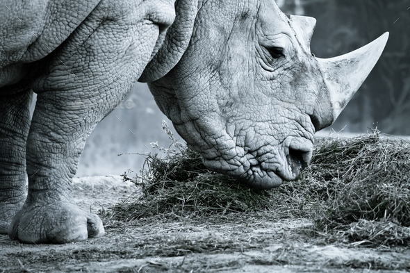 White rhino - Stock Photo - Images