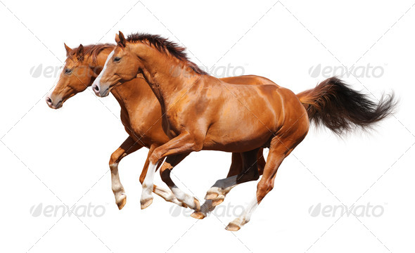 Two Sorrel Horses Gallop - Stock Photo - Images