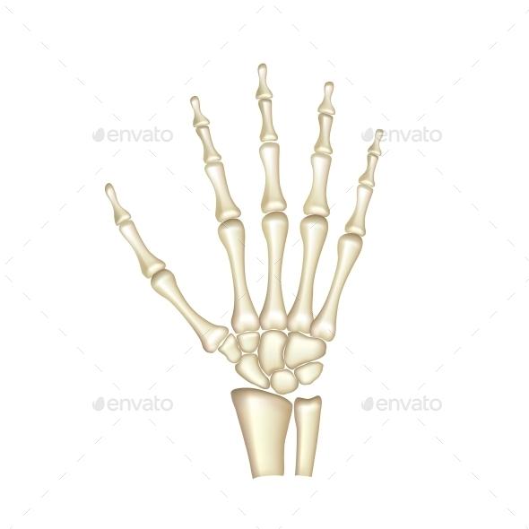 Human Hand Bones - Health/Medicine Conceptual