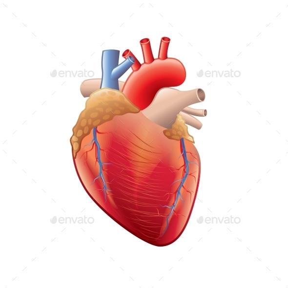 Human Heart Anatomy - Health/Medicine Conceptual