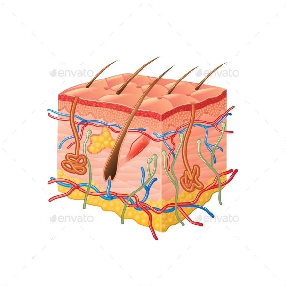 Human Skin Anatomy - Health/Medicine Conceptual