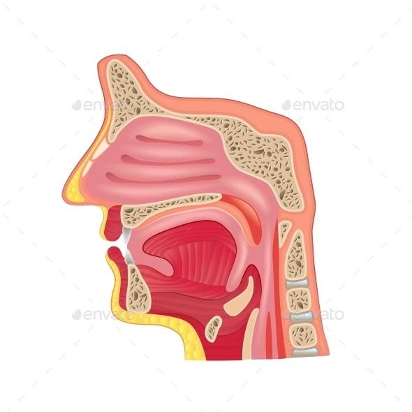 Nose Anatomy - Health/Medicine Conceptual