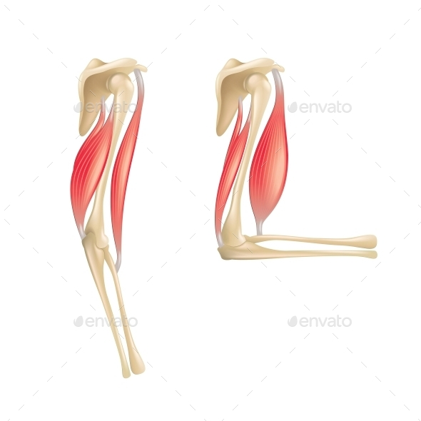 Elbow Joint Anatomy - Health/Medicine Conceptual