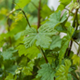 Young Grapevine in The Rain - VideoHive Item for Sale