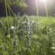 Sunset Grass and Flowers 1 - VideoHive Item for Sale