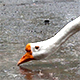 Goose on the Rain Drinking Water 1 - VideoHive Item for Sale