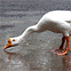 Goose on the Rain Drinking Water 2 - VideoHive Item for Sale