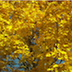 Autumn Maple Tree in the Wind - VideoHive Item for Sale