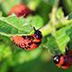 Colorado Beetle Larva - VideoHive Item for Sale