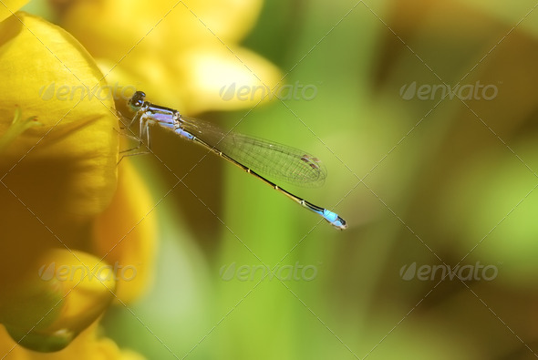 Damselfly on a yellow flower - Stock Photo - Images