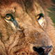 Male Lion Face Looking Around - VideoHive Item for Sale