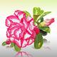 Desert Rose - GraphicRiver Item for Sale