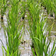Rice Field 2 - VideoHive Item for Sale