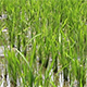 Rice Field 3 - VideoHive Item for Sale