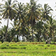 Rice Field and Palm Trees - VideoHive Item for Sale