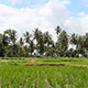 Rice Field and Palm Trees 2 - VideoHive Item for Sale