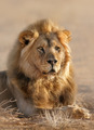 Lion male - PhotoDune Item for Sale