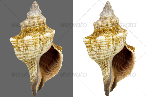 Snail Conch - Nature & Animals Isolated Objects