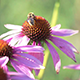 Bee on the Flower Collecting Nectar - VideoHive Item for Sale
