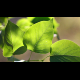 Bright Green Leaves - VideoHive Item for Sale