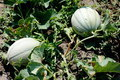 two green melons in organic garden - PhotoDune Item for Sale
