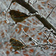 Sparrows In The Tree In Winter - VideoHive Item for Sale