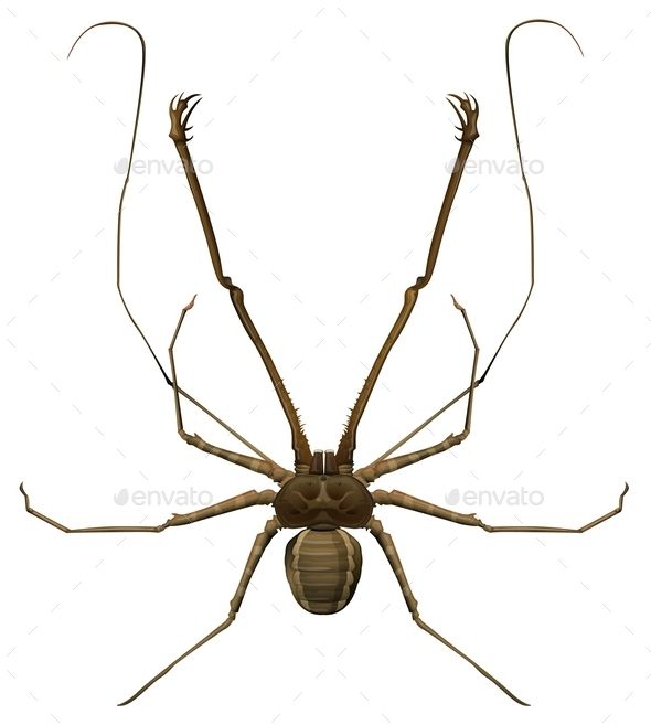 Amblypygi Genus - Animals Characters