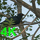 Asian Koel (Eudynamys scolopaceus) 03 - VideoHive Item for Sale