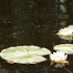 Water Lily 2 - VideoHive Item for Sale