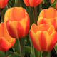 Tulips 20 - VideoHive Item for Sale