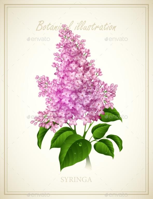 Syringa - Flowers & Plants Nature