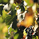 Sun on the Vineyard Grapes - VideoHive Item for Sale